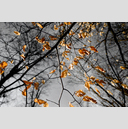 Frank Titze, Ulm/Germany - No. 1198 : Trees I - Winter Leaves - 959x640 Pixel - 703 kB