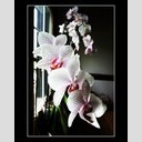 Frank Titze, Ulm/Germany - No. 124 : Rect 5:4 I - Orchidaceae at the Window - 512x640 Pixel - 70 kB