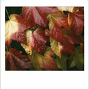 Frank Titze, Ulm/Germany - No. 12 : Polaroids - Colored Leaves - 630x640 Pixel - 97 kB