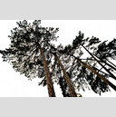 Frank Titze, Ulm/Germany - No. 187 : Trees I - White Trees - 959x640 Pixel - 379 kB