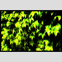 Frank Titze, Ulm/Germany - No. 217 : Y 2012-07 - Green Leaves - 941x640 Pixel - 362 kB