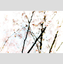 Frank Titze, Ulm/Germany - No. 2344 : Trees I - Spring - 959x640 Pixel - 366 kB