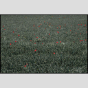 Frank Titze, Ulm/Germany - No. 2365 : Y 2014-08 - Red Poppy - 953x640 Pixel - 786 kB