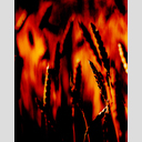 Frank Titze, Ulm/Germany - No. 2441 : Rect 5:4 I - Corn on Fire - 512x640 Pixel - 313 kB