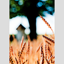 Frank Titze, Ulm/Germany - No. 2442 : Non Common II - Corn and Tree - 457x640 Pixel - 315 kB