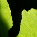 Frank Titze, Ulm/Germany - No. 2828 : Y 2015-01 - Fig Leaves II - 640x640 Pixel - 259 kB