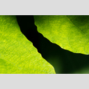 Frank Titze, Ulm/Germany - No. 2829 : Y 2015-01 - Fig Leaves III - 959x640 Pixel - 531 kB