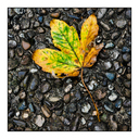 Frank Titze, Ulm/Germany - No. 2852 : Square 1:1 II - Leaf on Washed Concrete - 640x640 Pixel - 577 kB