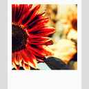 Frank Titze, Ulm/Germany - No. 2877 : Pola 600 I - Red Sunflower - 533x640 Pixel - 311 kB