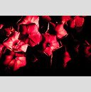 Frank Titze, Ulm/Germany - No. 297 : Y 2012-08 - Red Flower I - 959x640 Pixel - 193 kB