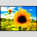 Frank Titze, Ulm/Germany - No. 322 : Film 3:2 I - Sunflower III - 947x640 Pixel - 233 kB