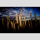 Frank Titze, Ulm/Germany - No. 326 : Film 3:2 I - Corn in Light - 959x640 Pixel - 220 kB