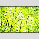 Frank Titze, Ulm/Germany - No. 3585 : Film 3:2 VI - Green Leaves VI - 955x640 Pixel - 1184 kB