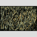 Frank Titze, Ulm/Germany - No. 3697 : Film 3:2 VI - Growing Corn - 947x640 Pixel - 894 kB