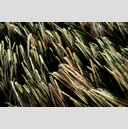 Frank Titze, Ulm/Germany - No. 3698 : Film 3:2 VI - Green Corn in Wind - 959x640 Pixel - 850 kB