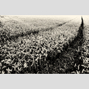 Frank Titze, Ulm/Germany - No. 3778 : Film 3:2 VII - Wheat Path I - 959x640 Pixel - 900 kB