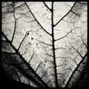 Frank Titze, Ulm/Germany - No. 3876 : Square 1:1 III - Backside Leaf - 640x640 Pixel - 364 kB