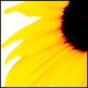 Frank Titze, Ulm/Germany - No. 3896 : Square 1:1 III - Sunflower - 640x640 Pixel - 155 kB