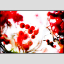 Frank Titze, Ulm/Germany - No. 3928 : Film 3:2 VII - Red Berries VII - 953x640 Pixel - 485 kB