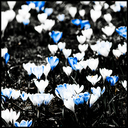 Frank Titze, Ulm/Germany - No. 4153 : Square 1:1 III - Crocus VI - 640x640 Pixel - 377 kB