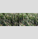 Frank Titze, Ulm/Germany - No. 4423 : Non Common II - Growing Corn - 960x319 Pixel - 556 kB