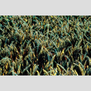 Frank Titze, Ulm/Germany - No. 4425 : Film 3:2 VIII - Colored Corn I - 959x640 Pixel - 1150 kB