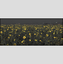 Frank Titze, Ulm/Germany - No. 4859 : Y 2017-04 - Sunflowers on Grey - 960x413 Pixel - 508 kB