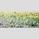 Frank Titze, Ulm/Germany - No. 4860 : Y 2017-04 - Sunflower Field I - 960x408 Pixel - 727 kB