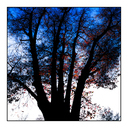 Frank Titze, Ulm/Germany - No. 4871 : Y 2017-04 - Red Leaves on Blue White Sky - 640x640 Pixel - 606 kB