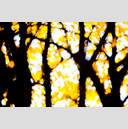 Frank Titze, Ulm/Germany - No. 4875 : Film 3:2 VIII - Golden Trees I - 959x640 Pixel - 495 kB