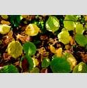 Frank Titze, Ulm/Germany - No. 4881 : Film 3:2 VIII - Yellow Green Leaves - 959x640 Pixel - 901 kB
