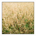 Frank Titze, Ulm/Germany - No. 5961 : Places - Wheat Field - ImageWidth : --- xImageHeight : ---  Pixel - 642 kB