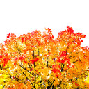 Frank Titze, Ulm/Germany - No. 609 : Trees I - Autumn II - 640x640 Pixel - 329 kB