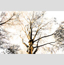 Frank Titze, Ulm/Germany - No. 629 : Trees I - Birch - 959x640 Pixel - 507 kB