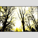 Frank Titze, Ulm/Germany - No. 630 : Trees I - Yellow Trees - 953x640 Pixel - 549 kB