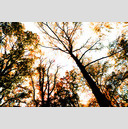 Frank Titze, Ulm/Germany - No. 631 : Trees I - Flame Trees - 959x640 Pixel - 638 kB