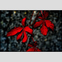 Frank Titze, Ulm/Germany - No. 635 : Y 2012-12 - Red Leaves - 953x640 Pixel - 173 kB