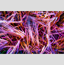 Frank Titze, Ulm/Germany - No. 6367 : Square 1:1 VIII - Colored Wheat - ImageWidth : --- xImageHeight : ---  Pixel - 1287 kB
