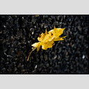 Frank Titze, Ulm/Germany - No. 637 : Y 2012-12 - Yellow Leaf - 953x640 Pixel - 189 kB