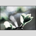 Frank Titze, Ulm/Germany - No. 7294 : Flowers - First Green I - ImageWidth : --- xImageHeight : ---  Pixel - 363 kB