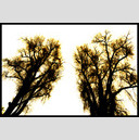 Frank Titze, Ulm/Germany - No. 765 : Trees I - Brothers - 947x640 Pixel - 422 kB