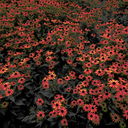 Frank Titze, Ulm/Germany - No. 8078 : Ulm Center - Colored Coneflower - ImageWidth : --- xImageHeight : ---  Pixel - 680 kB