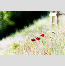 Frank Titze, Ulm/Germany - No. 8381 : Flowers - Red Poppy in the City - ImageWidth : --- xImageHeight : ---  Pixel - 594 kB