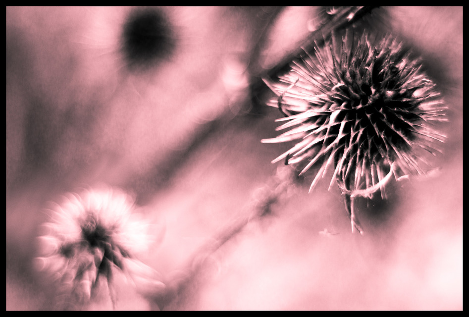 Frank Titze, Ulm/Germany - No. 156 : Flowers - Thistle - 947x640 Pixel - 158 kB