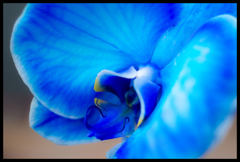 Frank Titze, Ulm/Germany - No. 163 : Flowers - Colored Orchid - 947x640 Pixel - 143 kB
