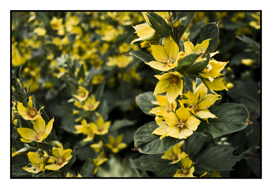 Frank Titze, Ulm/Germany - No. 236 : Non Common I - Yellow Flowers - 920x640 Pixel - 196 kB