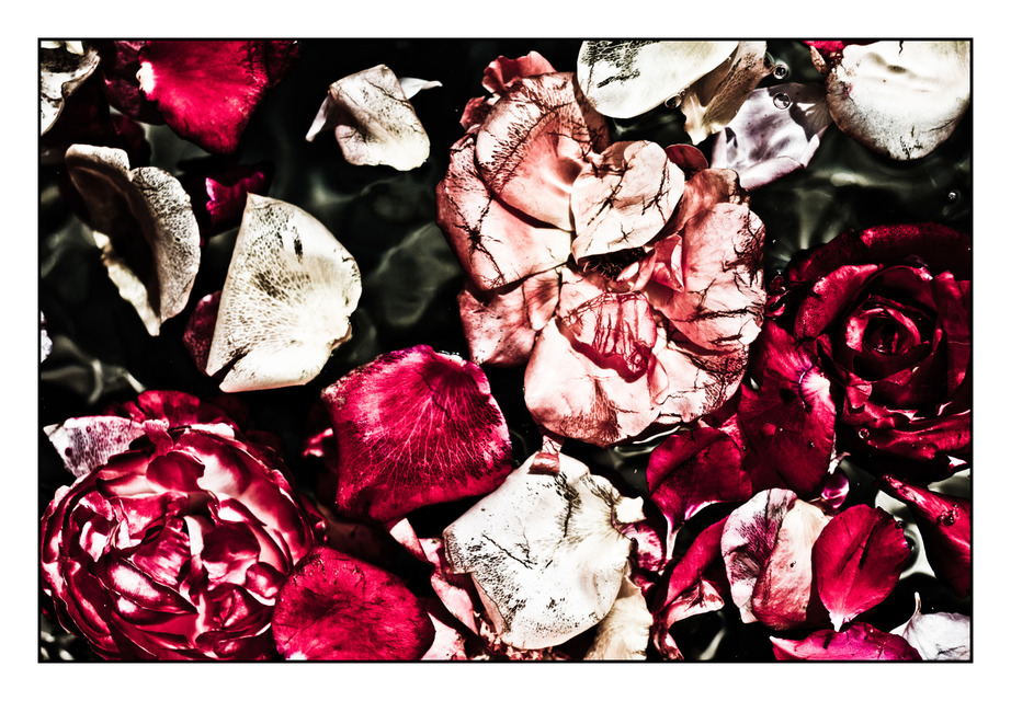 Frank Titze, Ulm/Germany - No. 399 : Non Common I - Roses I - 922x640 Pixel - 305 kB