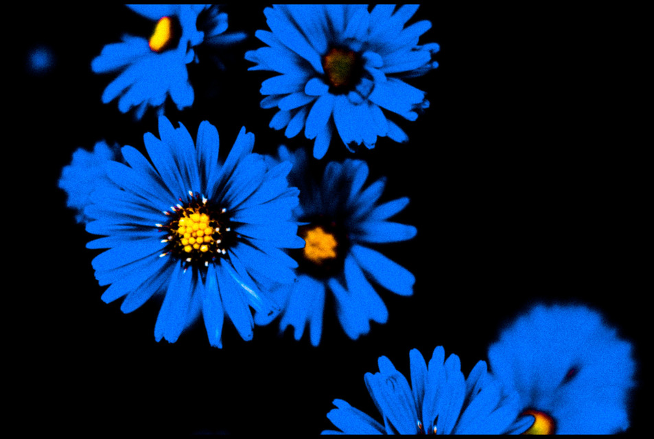 Frank Titze, Ulm/Germany - No. 574 : Flowers - Blue Flowers - 953x640 Pixel - 162 kB