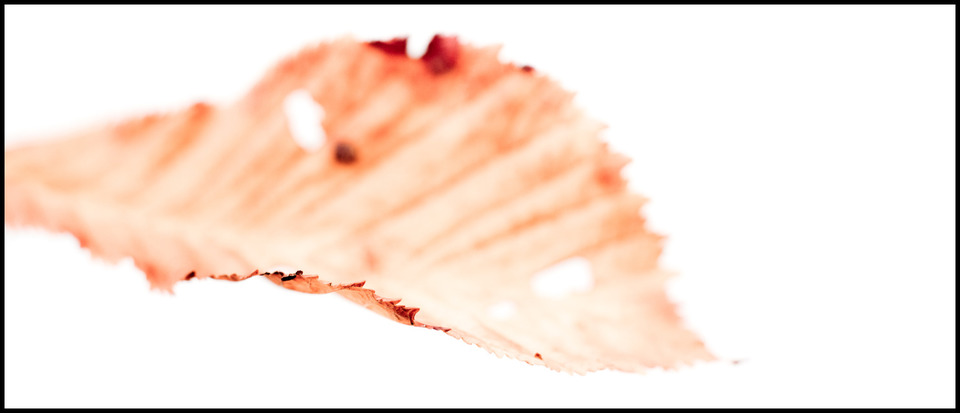 Frank Titze, Ulm/Germany - No. 595 : Flowers - White Leaf - 960x413 Pixel - 56 kB