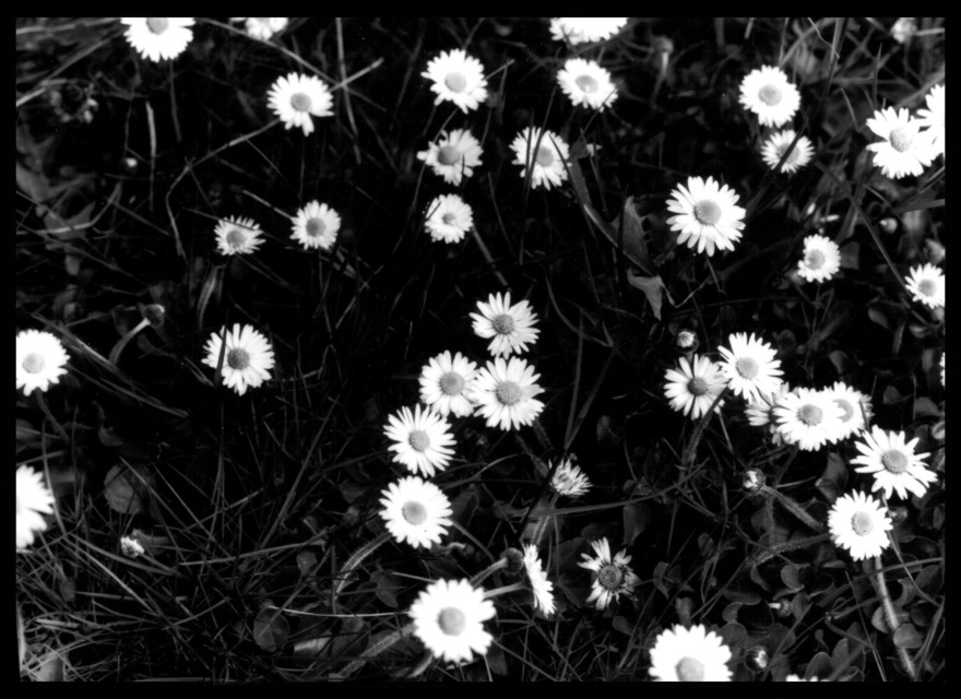 Frank Titze, Ulm/Germany - No. 85 : Pure Analog - Flower II - 880x640 Pixel - 129 kB